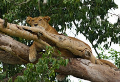 Lion resting in a tree Stock Photos