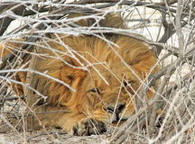 A lion resting under a thick bush Royalty Free Stock Photography