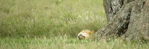 Lion resting under a tree Royalty Free Stock Photography