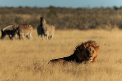 Lion resting Stock Photos