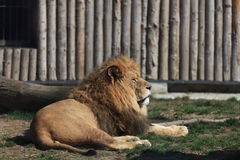 Lion resting at the zoo Royalty Free Stock Image