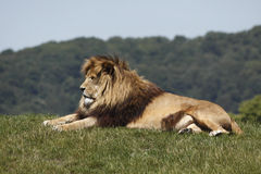 Lion rests Stock Image