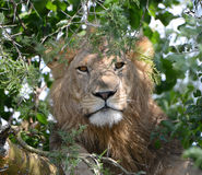 A lion rests during the day, sleeping in a tree in Uganda Royalty Free Stock Photo
