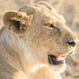 Lion rests in Serengeti Stock Photography