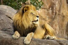 Lion Rests On Tall Boulder potente grande en la puesta del sol fotografía de archivo libre de regalías