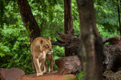 The lion rests in zoo Royalty Free Stock Photos