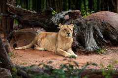 The lion rests in zoo Royalty Free Stock Image