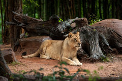 The lion rests in zoo Stock Photos