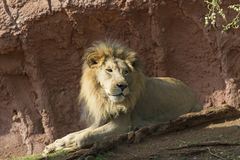 Lion Reverie. A lion at rest, appearing to  be recalling pleasant memories Stock Photography