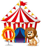 A lion and a ring of fire at the carnival. Illustration of a lion and a ring of fire at the carnival on a white background Royalty Free Stock Image