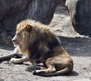 Lion Rising images libres de droits