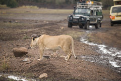 Lion on the road. In Masai Mara Park, Kenya Royalty Free Stock Images