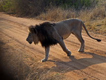 LION ROAD. A male lion makes his way across a dusty road in Welgevonden Game Reserve in South Africa Stock Images