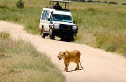 Lion on the road Royalty Free Stock Photography