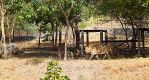 Lion Roaming asiático no jardim zoológico com arredores naturais sob árvores imagem de stock