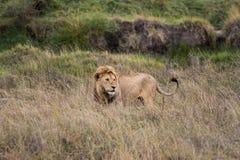 Lion. Roaming the savannah of Serengeti Royalty Free Stock Images