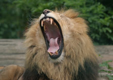 Lion Roar. Ing with wide open mouth showing teeth royalty free stock photos