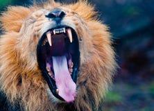 Lion Roar. A close-up of a lion roaring stock photos