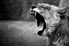 Lion roar. Black and white photo of fierce lion roar royalty free stock photo
