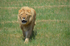Lion roar. This is a lion roaring roaming thru long grass Royalty Free Stock Image
