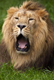 Lion roar. Lion lying, yawning/ roaring in lush green grass stock photos