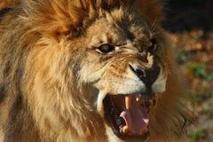 Lion roar. The male lion is roaring stock photos