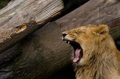 Lion roar. A young lion roaring , with its fangs showing royalty free stock image