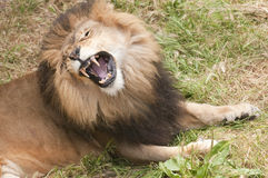 Lion roar Royalty Free Stock Photography