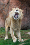 Lion roar. The africa lion is very angry Royalty Free Stock Photos