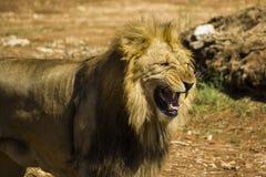 Lion roar. African felines. The roar of a big lion Stock Images