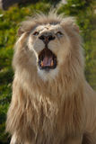 Lion roar. Close up shot of lion portrait Stock Photo