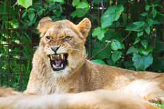 Lion roar Royalty Free Stock Photo