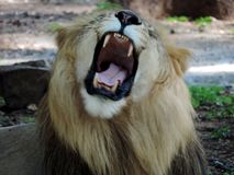 Lion roar. Its not in jungle but zoo royalty free stock image
