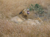 Lion Roar Masai Mara masculin Image libre de droits