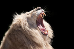 Lion roar. Lion portrait  by black background Stock Photo