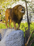 Lion roar. A roaring lion on the rock at warsaw zoo Stock Photo
