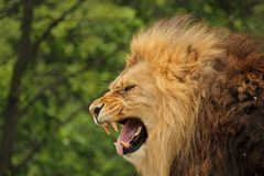Lion roar. Wildlife predator safari Royalty Free Stock Photos
