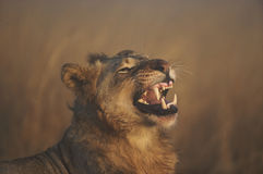 Lion roaring. African Lion roaring or growling Stock Photo