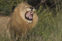 Lion roaring. In a grassland area Royalty Free Stock Photos