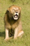 Lion roaring. Male lion roaring in Kenya's Masai Mara Stock Photo