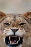 A lion roaring. A lion about to roar Royalty Free Stock Images