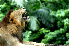 Lion Roaring. A Big Cat Roaring royalty free stock image