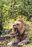 Lion roaring Royalty Free Stock Photo