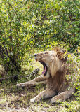 Lion roaring Stock Photography
