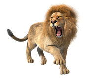 Lion roaring isolated. 3d CG illustration of roaring lion isolated on white background Royalty Free Stock Photos