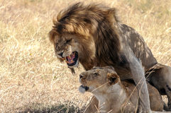 Lion roaring with lioness Royalty Free Stock Photography