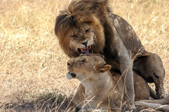 Lion roaring with lioness Royalty Free Stock Photos