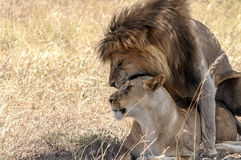 Lion roaring with lioness Royalty Free Stock Image