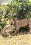 Lion roaring over a lioness Royalty Free Stock Images