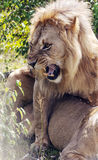Lion roaring over a lioness Royalty Free Stock Photography